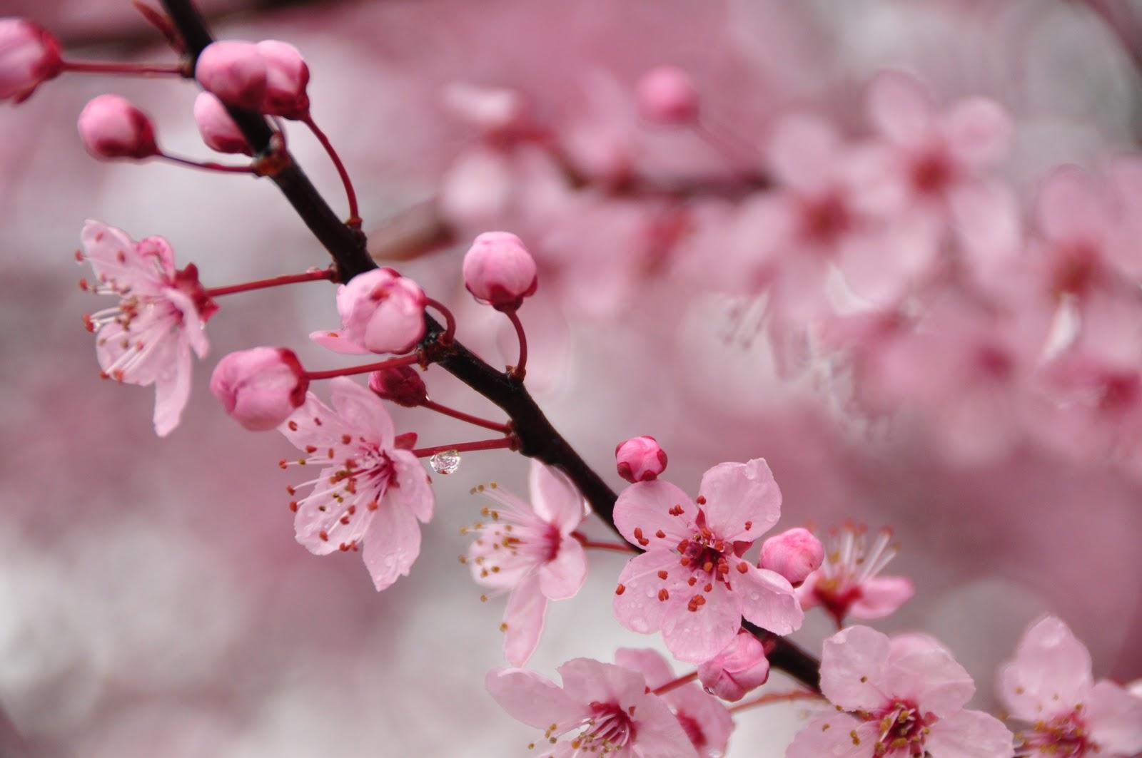 lovely cherry blossom 26876