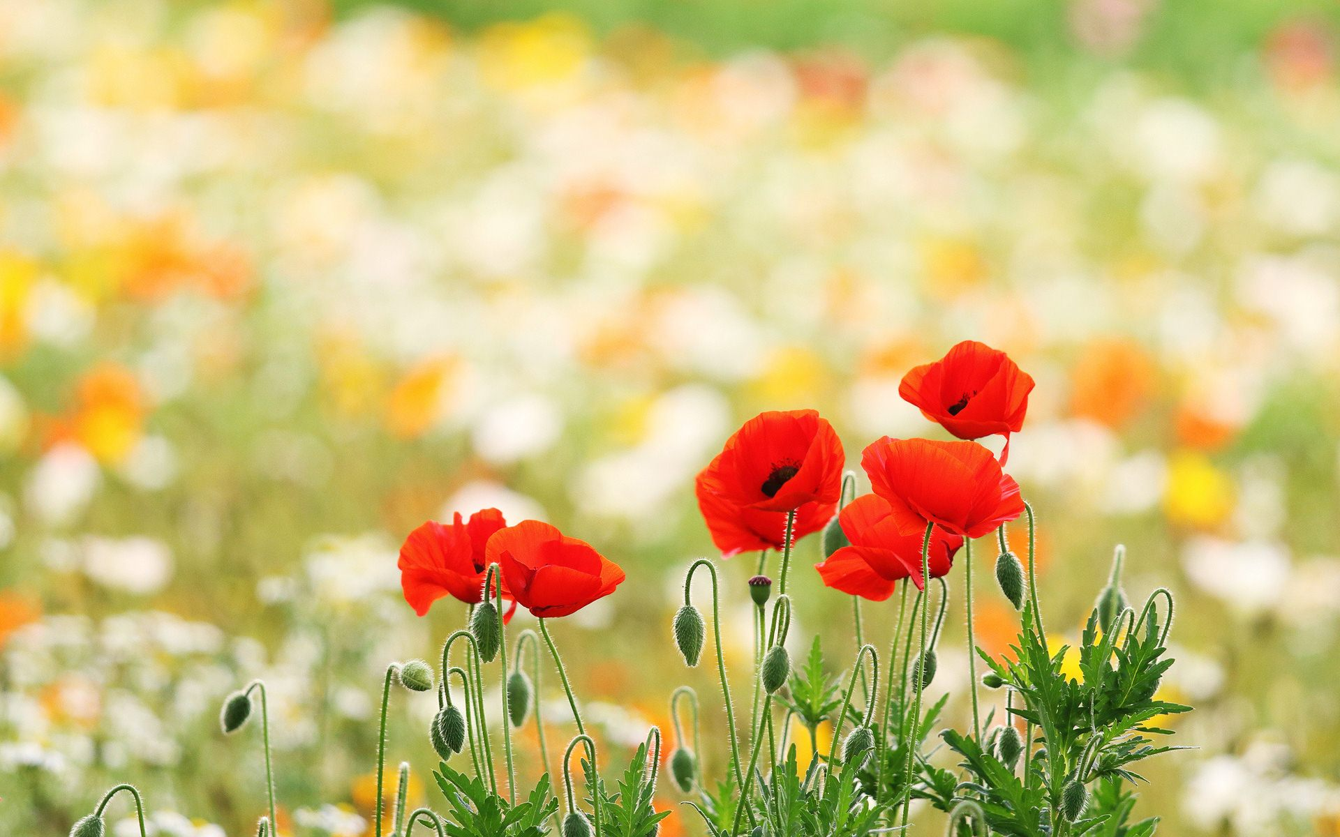 poppy field wallpapers 32147 1920x1200 px. Black Bedroom Furniture Sets. Home Design Ideas