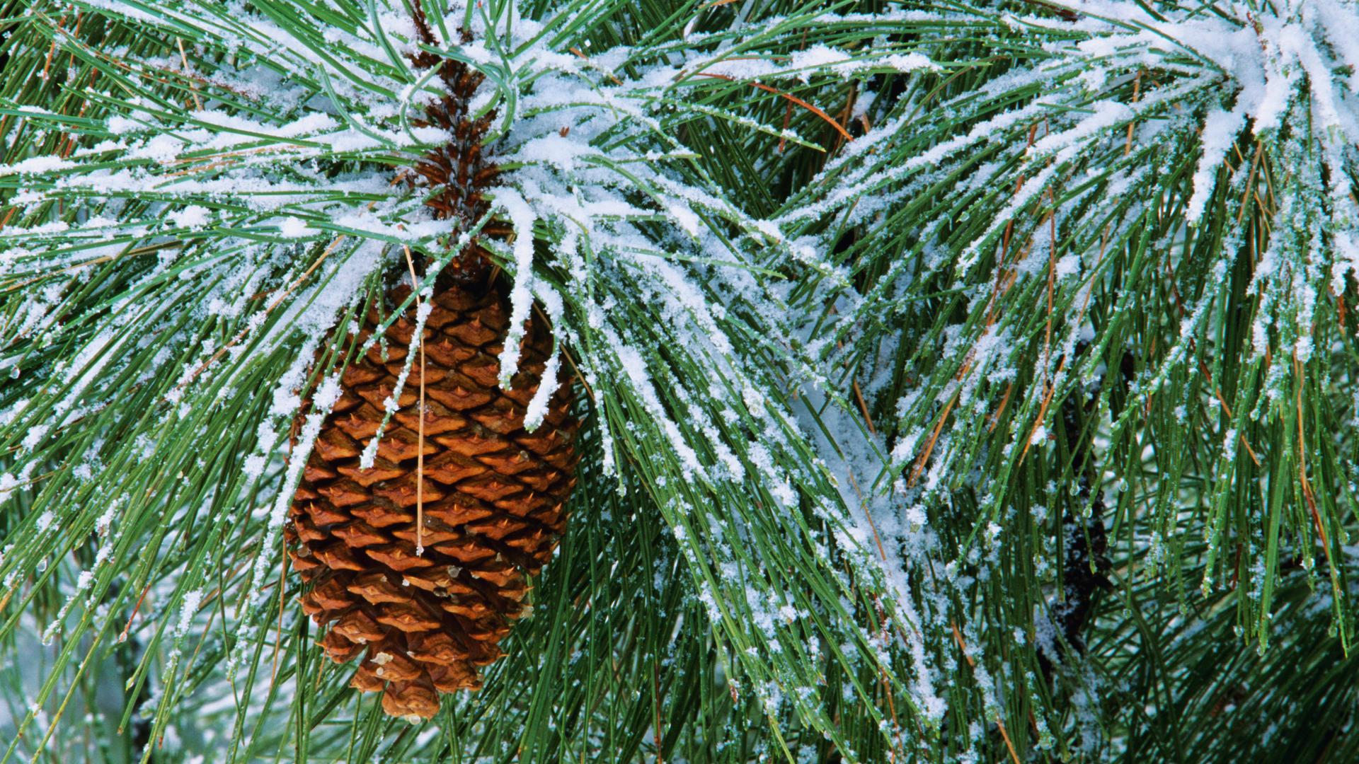 pretty pine wallpaper 31450