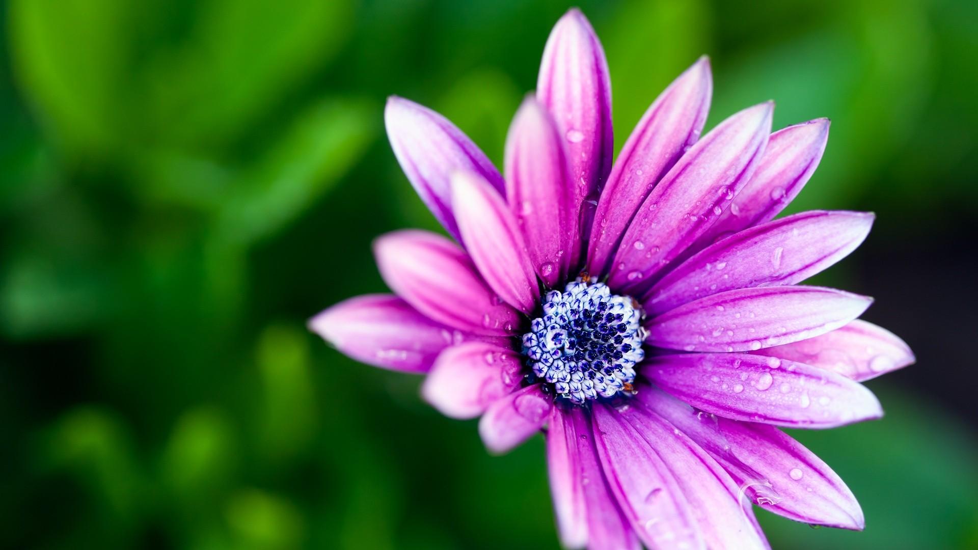 purple daisy 22197