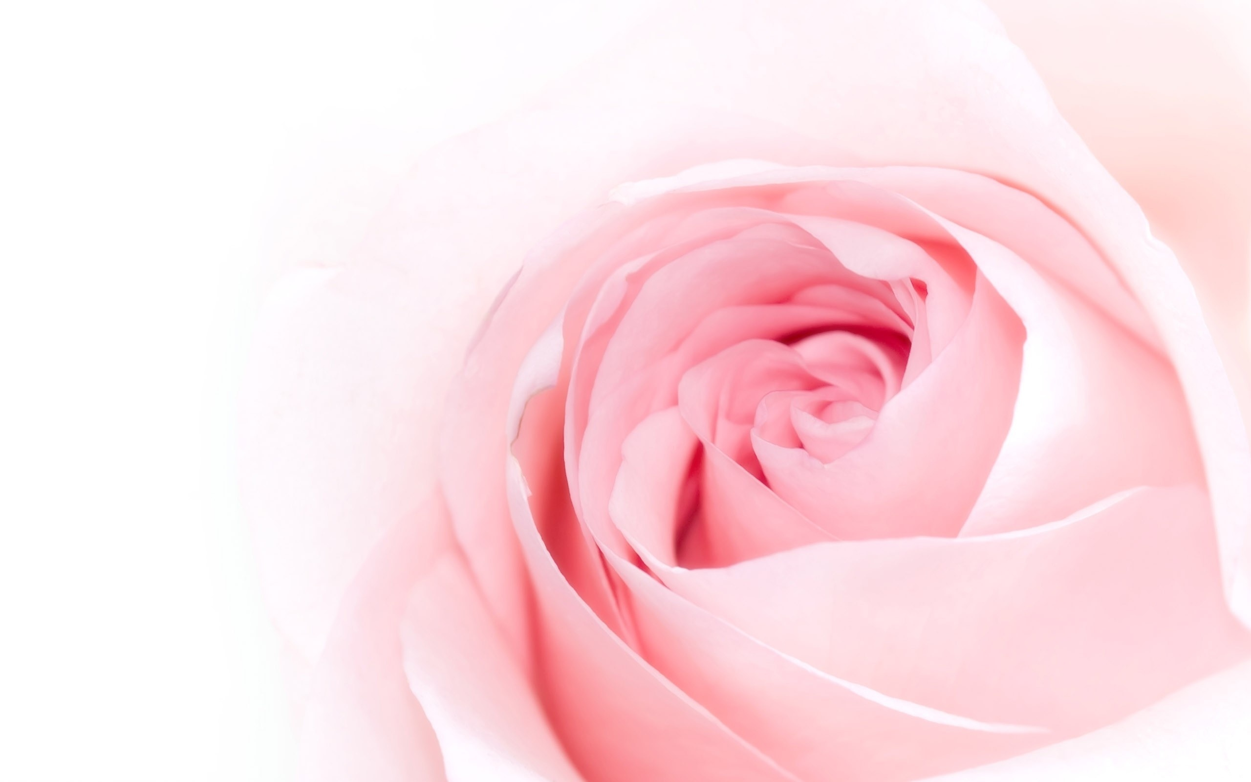 rose flower petals 25893