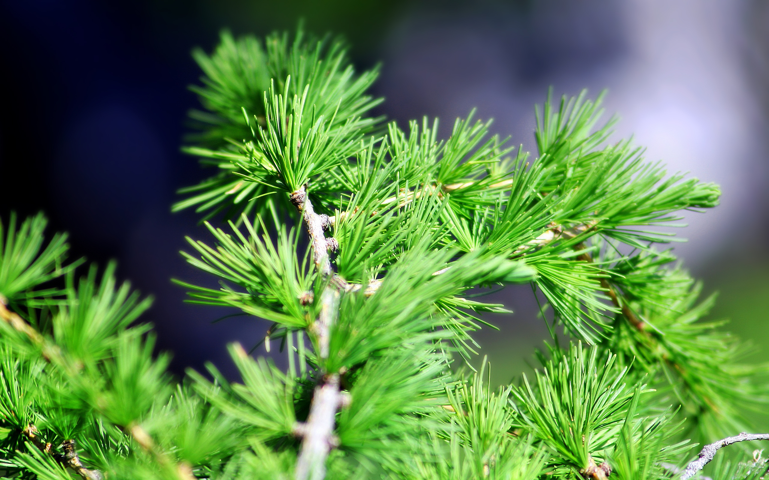 spruce background 39077