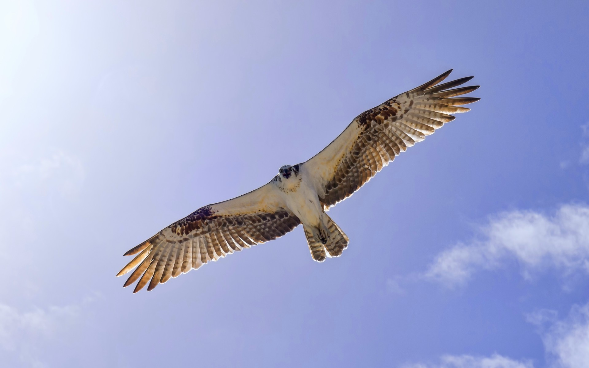 stunning osprey wallpaper 43851