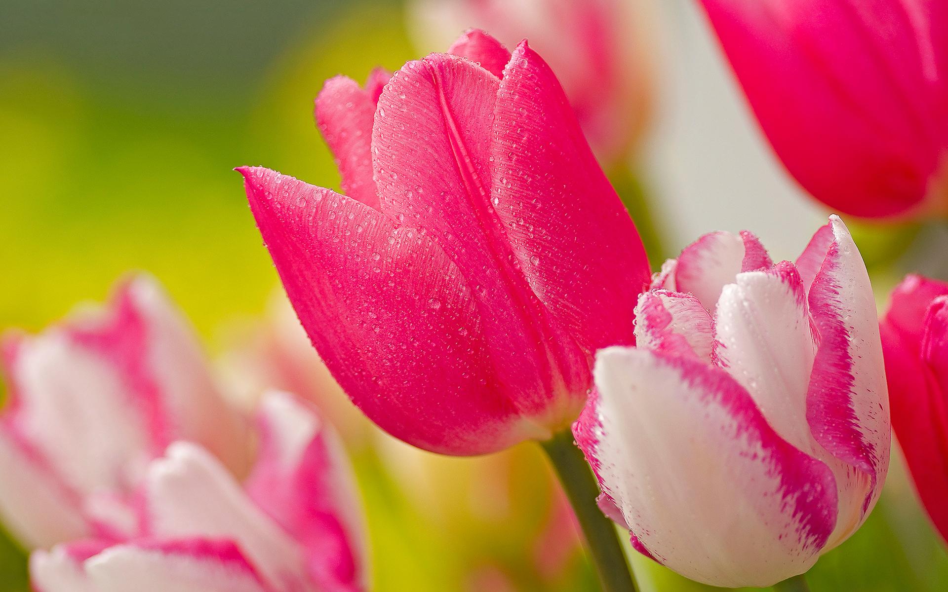 stunning pink tulips 22696