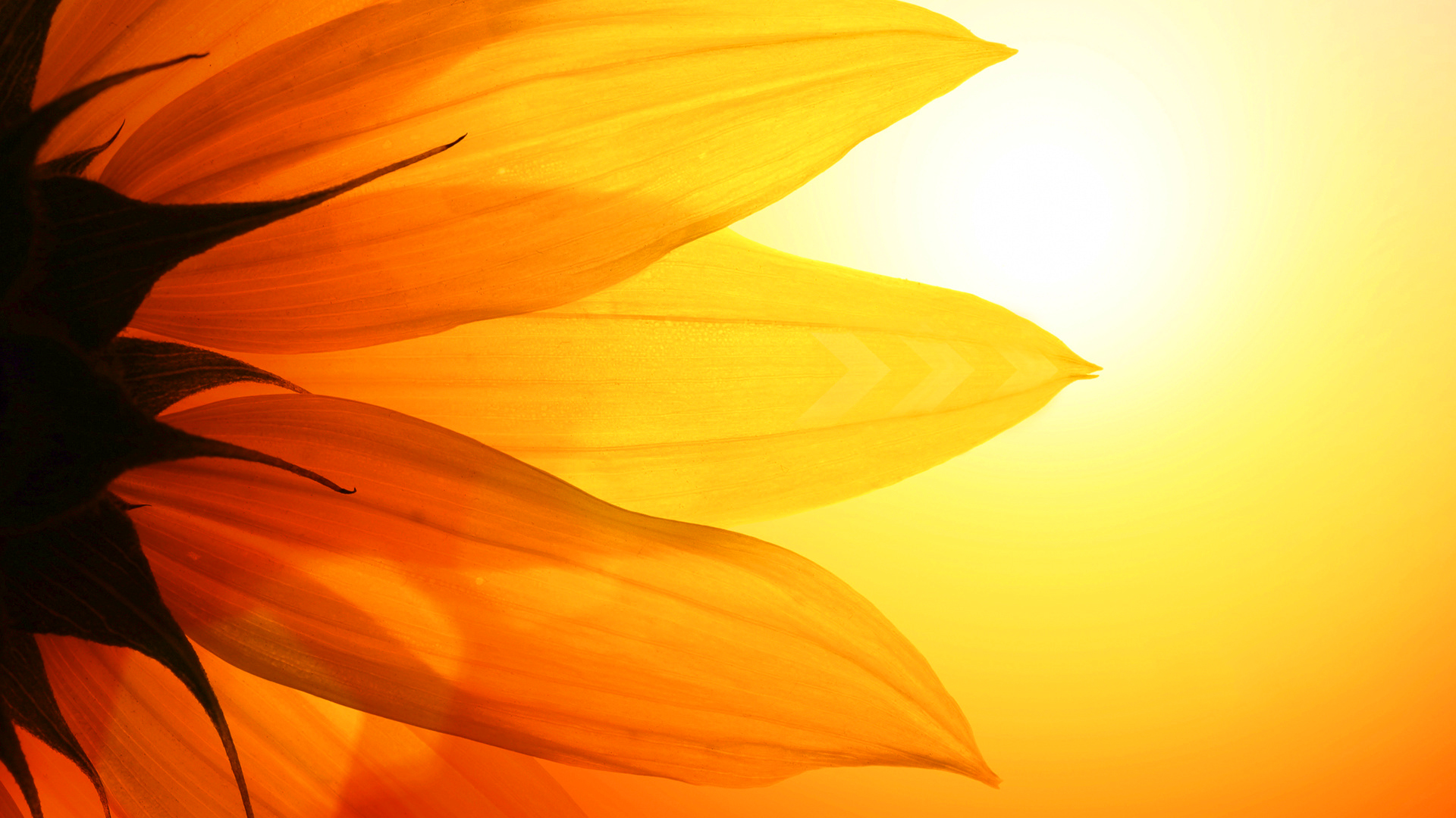 sunflower pictures 26850