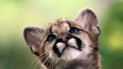 Adorable Cougar Wallpaper 24706