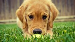 Adorable Golden Retriever Wallpaper 40298