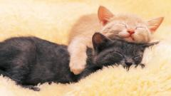 Adorable Sleeping Cat Wallpaper 40316