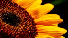 Amazing Sunflower Pictures 26852