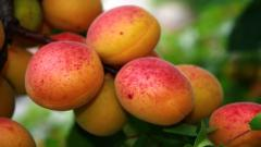Apricot 32261