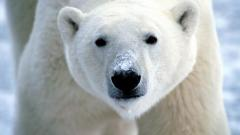 Arctic Bear 26658
