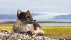Arctic Fox 26660