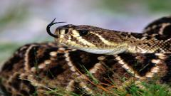Awesome Rattlesnake Wallpaper 29845