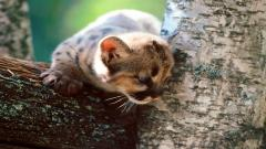 Baby Cougar 24714