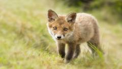 Baby Fox HD 34468