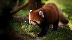 Baby Fox Wallpaper 34462