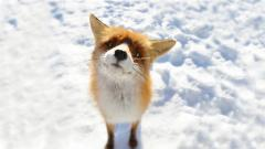Baby Fox Wallpaper 34470