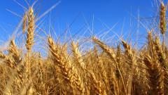 Barley 35396