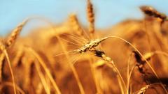Barley Wallpaper HD 35384