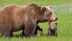 Bear Wallpaper 41930