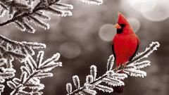 Beautiful Cardinal Wallpaper 19865