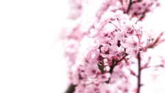Beautiful Cherry Blossom 26873