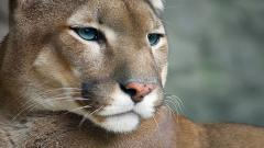 Beautiful Cougar 24718