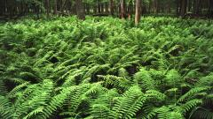 Beautiful Fern Wallpaper 34341