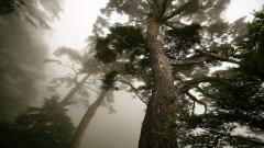Beautiful Pine Wallpaper 31438