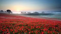 Beautiful Poppy Field 32142