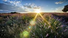 Beautiful Sunbeam 31319