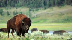 Bison Background 30867