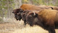 Bison Pictures 30869