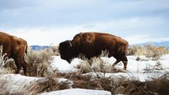 Bison Wallpaper 30861