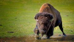 Bison Wallpaper 30866