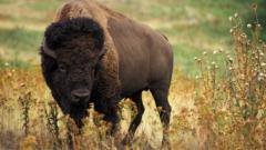 Bison Wallpaper HD 30865