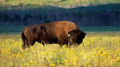 Bison Wallpapers 30863