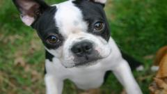 Boston Terrier 21297