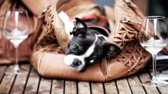 Boston Terrier Background 21293