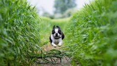 Boston Terrier Wallpaper 21298