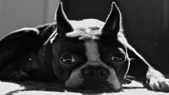 Boston Terrier Wallpaper 21302