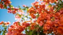 Bougainvillea Wallpaper 20209