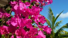 Bougainvillea Wallpaper 20212