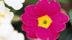 Bright Pink Flowers Wallpaper 27829