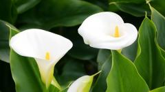 Calla Lilies Wallpaper HD 21025