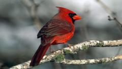 Cardinal 19868