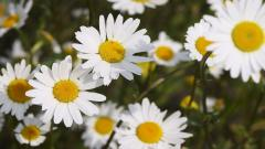 Chamomile Flowers 20229