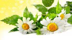 Chamomile Wallpaper 20226