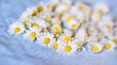 Chamomile Wallpaper 20233