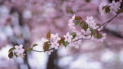 Cherry Blossom 26874